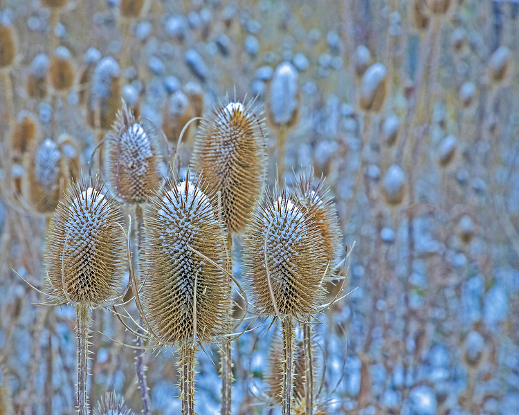 Fall Teasels - Tom Green - First Place