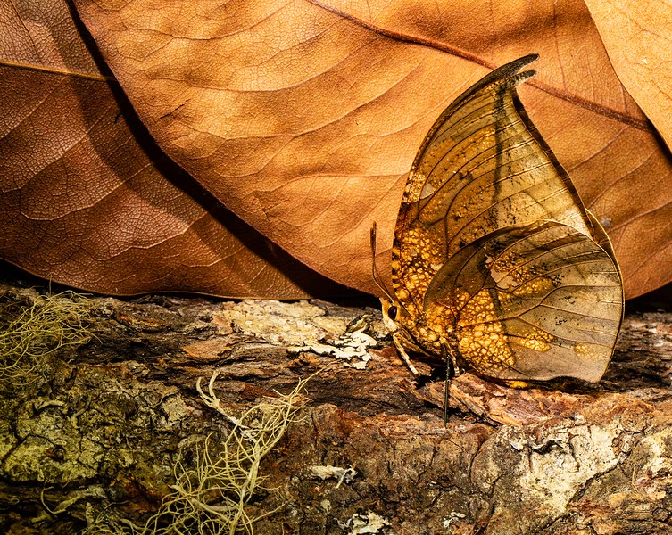 Dead Leaf Butterfly - Terry Turner - Honorable Mention