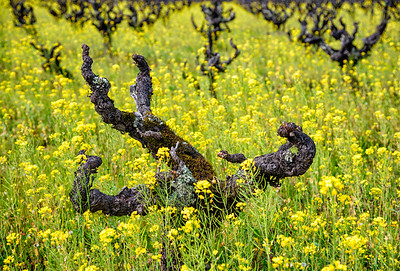Old Growth Vines and Mustard