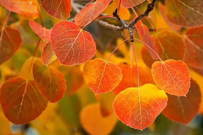 North Lake Aspen Leaves