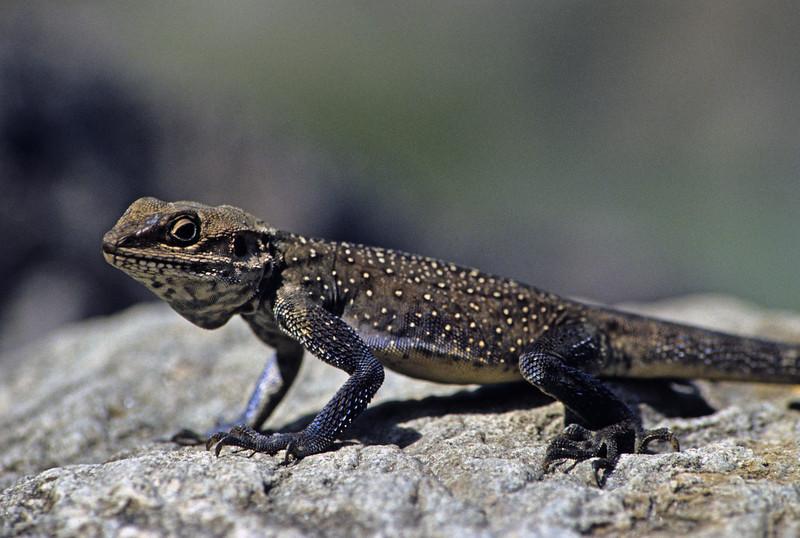 L1794 Lizard, moved. Rishikesh