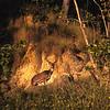 L1199 Chital (cheetal) deer, Jim Corbett Tiger Reserve.