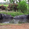 L2944 The Water Buffalo