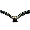 L1840 Vulture, Rishikesh