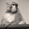 L2969 Rhesus monkey, Rishikesh