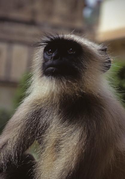 L1738 Langur monkey, Jaipur