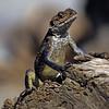 L1740 Lizard, Rishikesh
