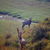 L1101 Nilgai is elk size, wild, and roams fence free among farmer's crops. The bull has a blue hue. Allahabad