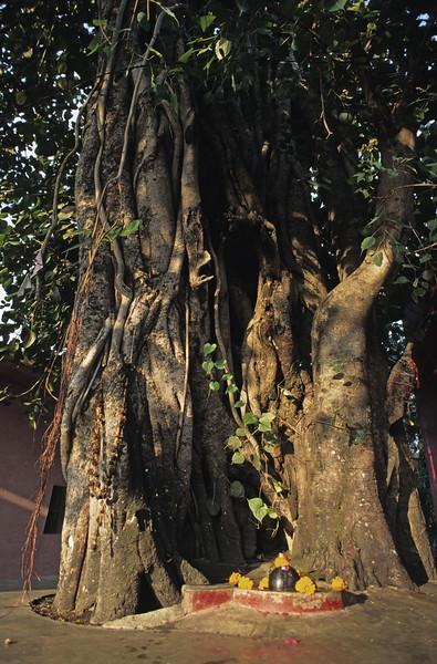 L2035 Lingam. Virbhadra site, Rishikesh