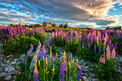 Lake Tekapo Church & Lupine