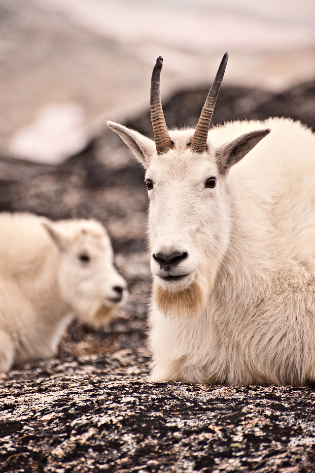 Mother Mountain Goat