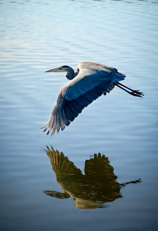 Blue Heron Reflection