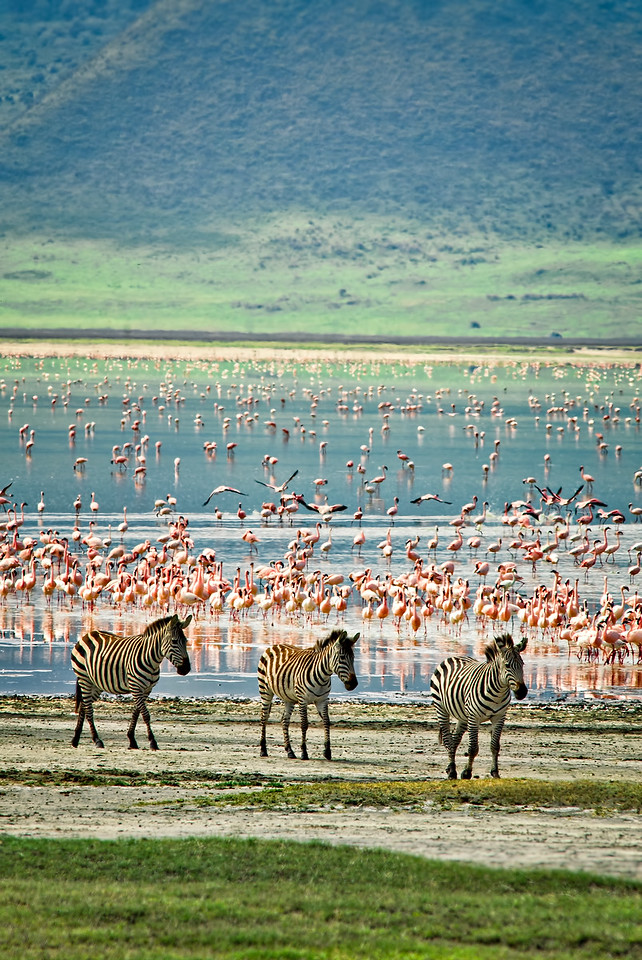 Zebras and Flamingos