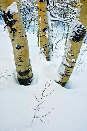 Hope Valley Aspen in Winter #1