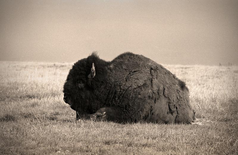 L6048 Buffalo (Bison) Teddy Roosevelt National Grasslands, North Dakota
