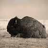 L6048 Buffalo (Bison) Teddy Roosevelt National Grasslands, North Dakota