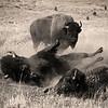 L8031 Buffalo dusting. Yellowstone National Park