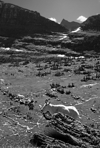 L6154 Goat on Logan Pass, Going-To-The-Sun Highway