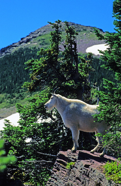 L6150 Goat on Logan Pass, Going-To-The-Sun Highway