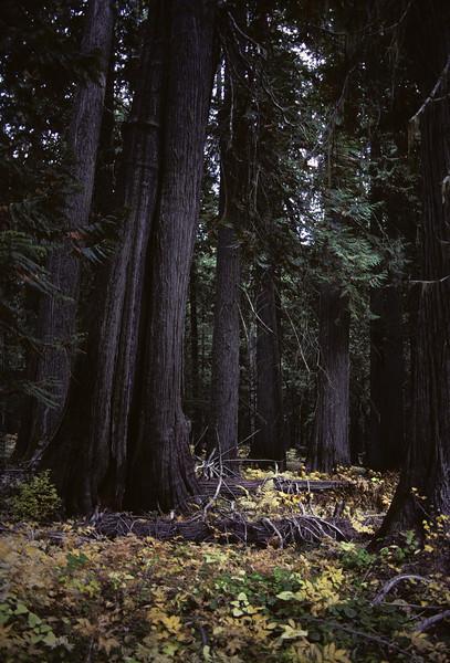 L6071 Cedar forest, Bull River valley, Montana
