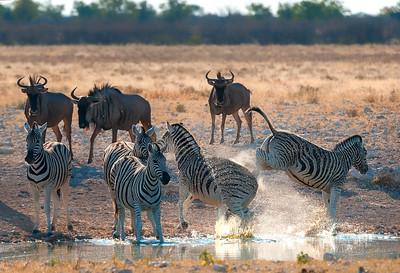 Zebra at Play