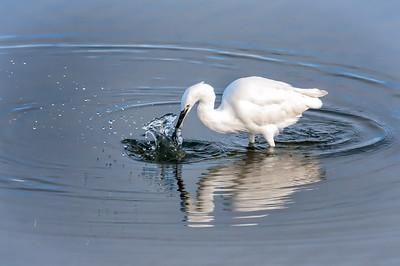 Walvis Bay Egret