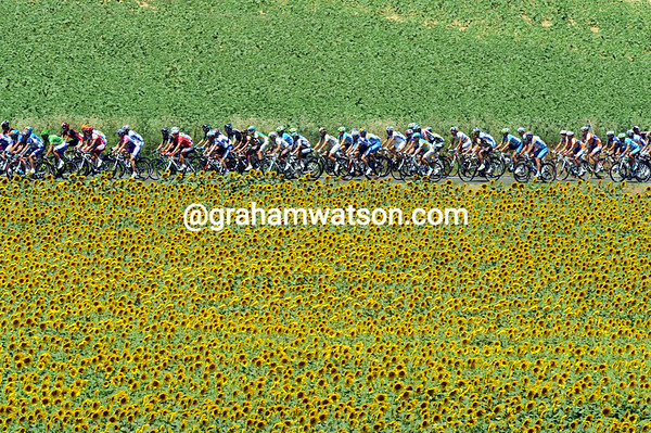 The peloton is speeding up as more sunflowers greet them along the way...