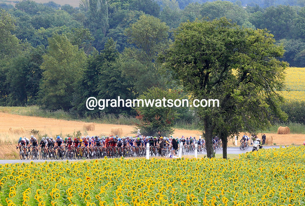 There are sunflowers galore in the Tarn, even if they are wet and drooping...