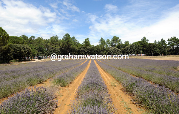 A true summer landscape of lavender watches the Tour fly across Provence...