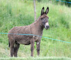 Wiggo the donkey is waiting and watching for the Dauphiné to whizz past - he loves bike-races..!