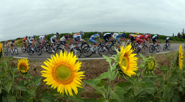 The peloton passes sunflowers on its northern route towards Brive...