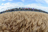 The peloton passes some soft-looking wheatfields on its way across to St Quentin
