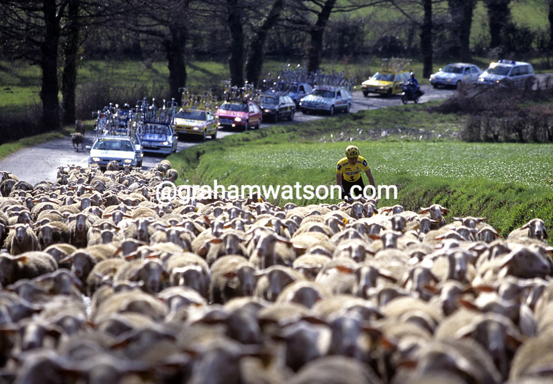 A cyclist is trapped by sheep in the 2000 Criterium International
