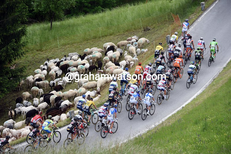 The peloton passes a flock of sheep on stage fifteen of the 2015 Tour of Italy