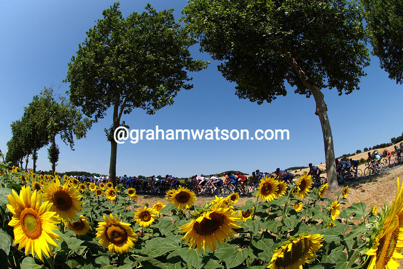 The 2004 Tour de France passes sunflowers on a stage into the Pyrenees