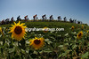 The 2007 Tour de France heads north past sunflowers on stage 17