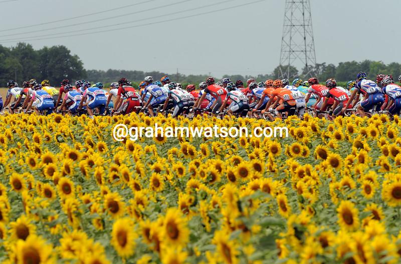 Sunflowers 2007.JPG