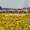 Sunflowers 2007.JPG
