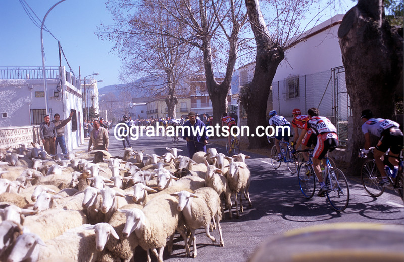 Cyclists avoid a herd of sheep in the Ruta del Sol