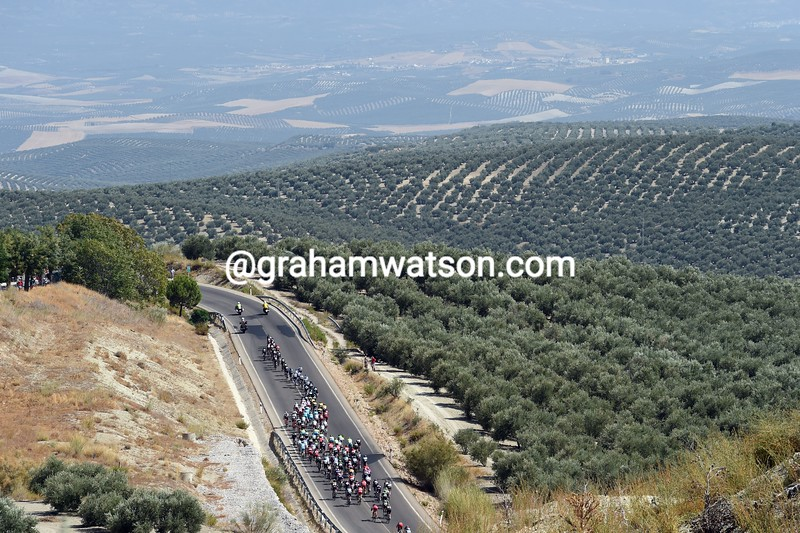 The peloton passes olive groves in Andalucia on stage six of the 2015 Tour of Spain