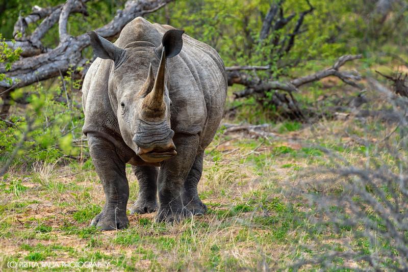 A Curious White Rhino