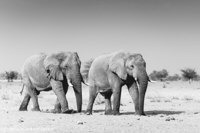 The Bachelors of Etosha