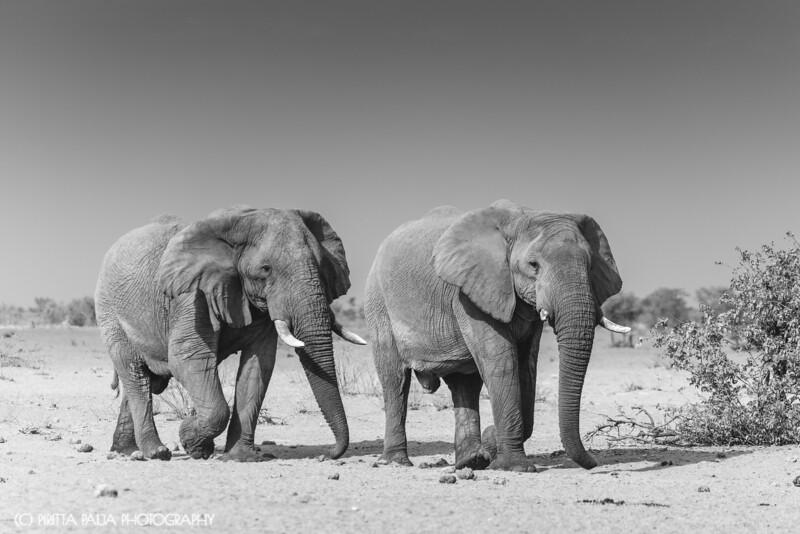 The Two Bachelors – Elephant Friends