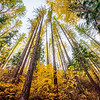 Fall larch giants