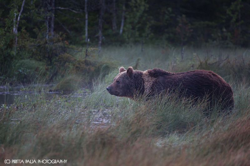 "A wild brown bear called ""Mörkö"" (Boogeyman in Finnish) in Kuusamo, Finland"
