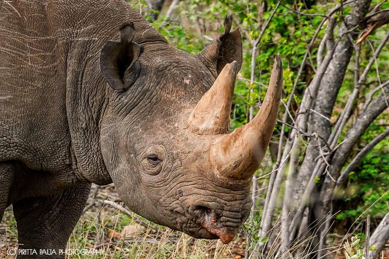 Portrait of the Black Rhino