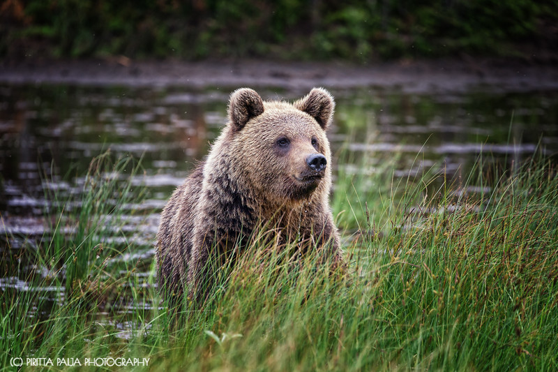 "The gorgeous brown bear nicknamed ""Hittavainen"" in Kuusamo, Finland"