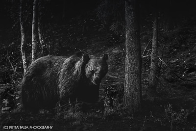 The Gaze of an Old Brown Bear