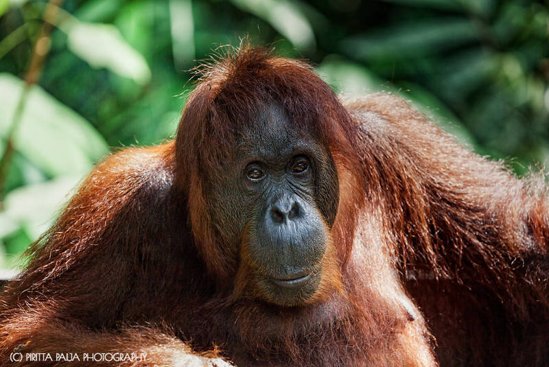 A happy orangutan in Malaysian Borneo