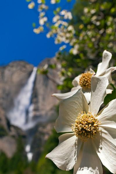 Dogwood and Yosemite Falls